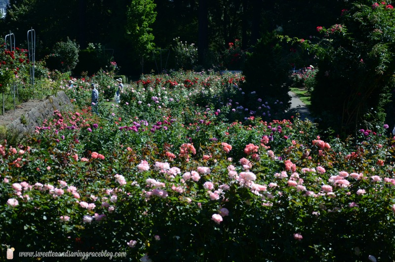Rose Garden, Portland, OR  |  Sweet Tea & Saving Grace