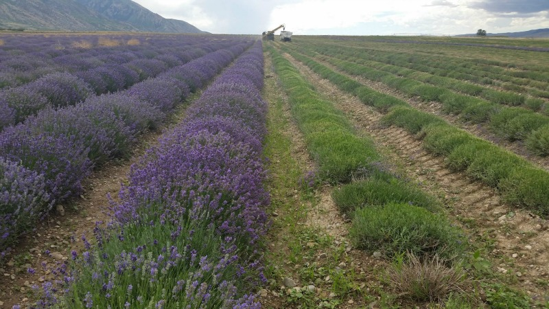 Whispering Farms in Utah is the largest herb farm & distillery in the world, and is home to Young Living essential oils. Learn how lavender oil is cultivated, and many ways to incorporate lavender oil into your home.
