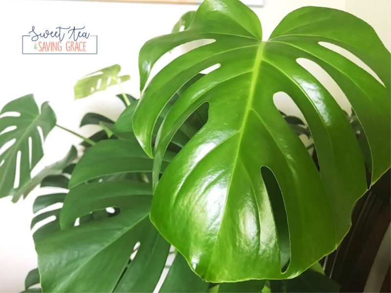 Monsteras, also known as split leaf philodendrons or swiss cheese plants, will quickly take over a room, but their huge holey leaves are a sight to be seen, and they are fairly low-maintenance!