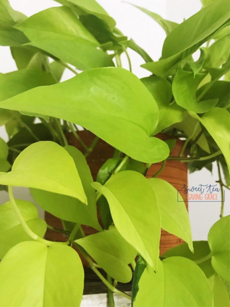 The bright green heart-shaped leaves on a neon pothos are so pretty and fun, they'll brighten up any room! They are easy to care for, and easy to share with a little propagation!